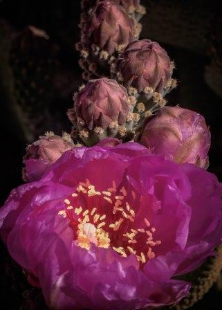 Joshua Tree Pink Cactus Blossom 1