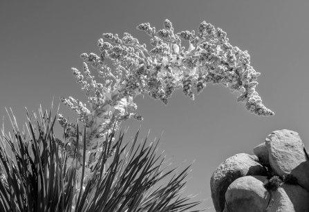 Joshua Tree Yucca Bloom